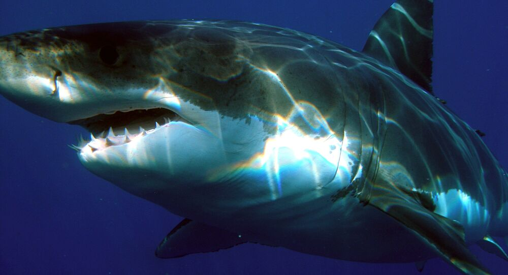 Tubarão-branco (imagem referencial)