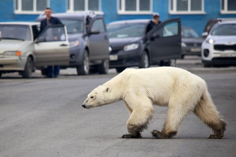 Urso polar perdido e faminto caminha em uma estrada nos arredores de uma cidade industrial russa