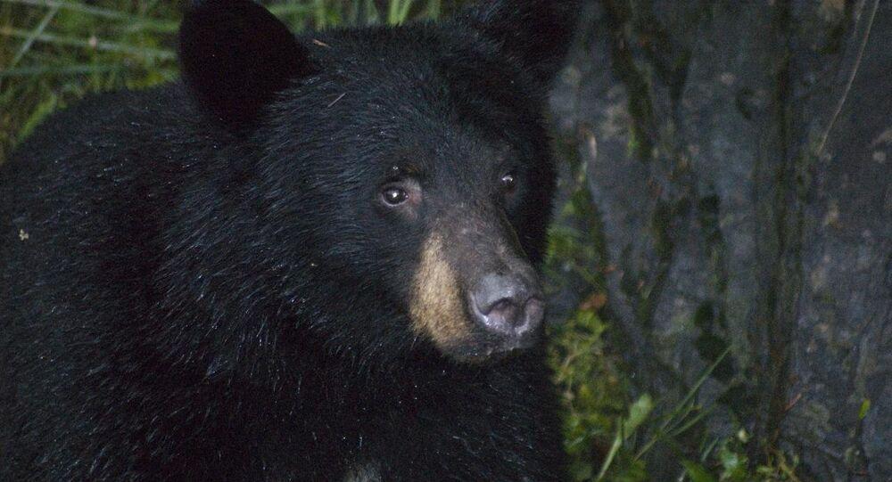 Urso-negro (image referencial)