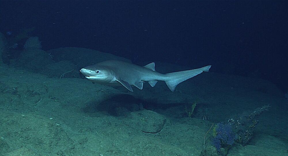 Tubarão-albafar