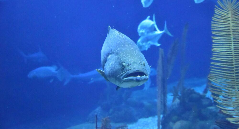 Peixe Grouper