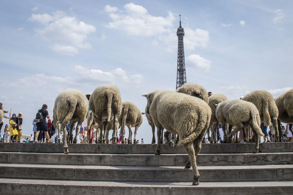 Ovelhas em frente à Torre Eiffel, em Paris