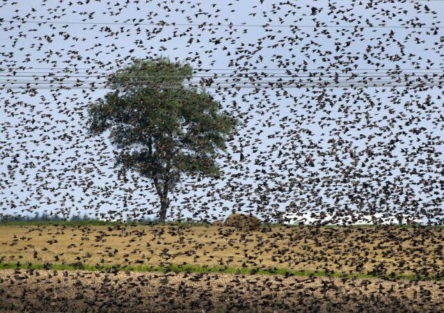 Bando de pássaros na Bielorrússia