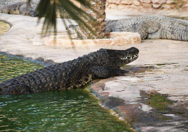 Crocodilo (imagem ilustrativa)