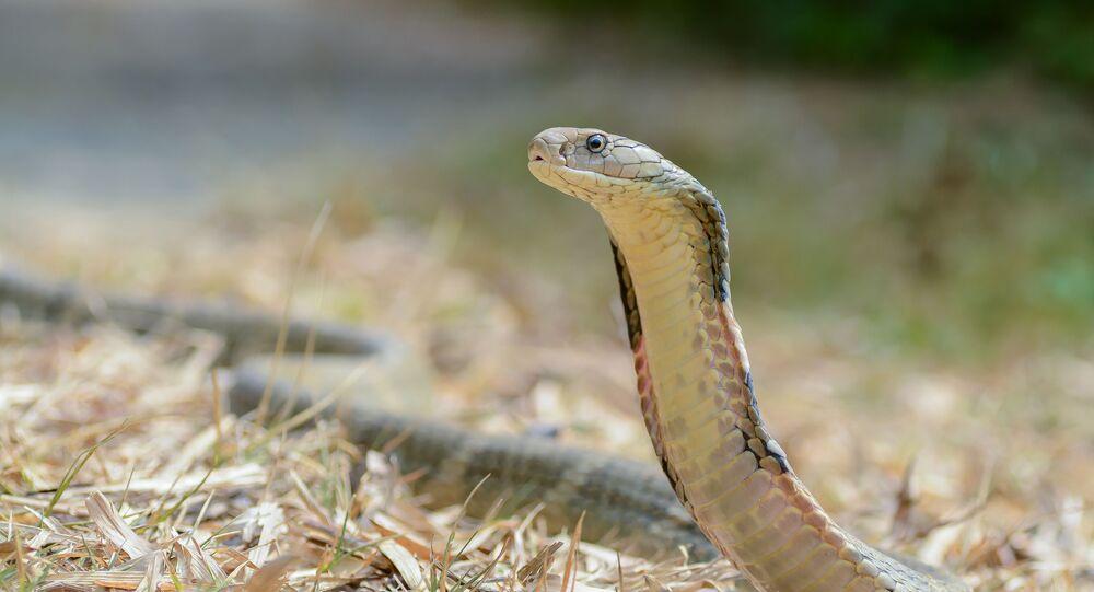 Cobra-rei