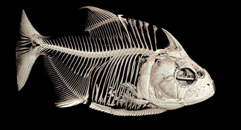 Ossa de um peixe piranha