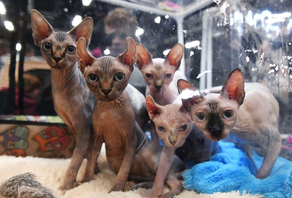 Gatos das raças pelada canadense e elf durante a exposição de gatos em Moscou