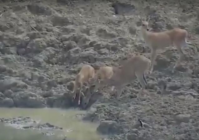 Píton sorrateira salta de lago e asfixia cervo até a morte