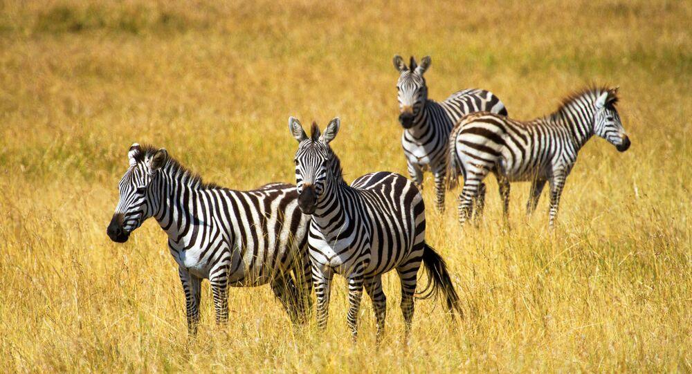 Zebras no parque Masai Mara, Quênia