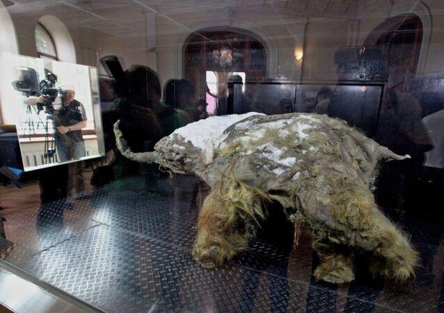 Mamute Yuka encontrado em Yakútia, na costa do mar de Laptev, Rússia