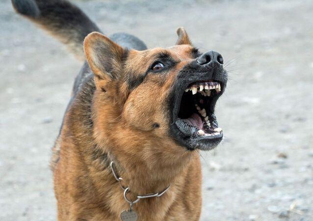 Cachorro feroz (foto de arquivo)