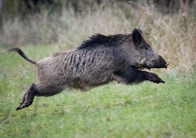 Javali selvagem saltando na Alemanha