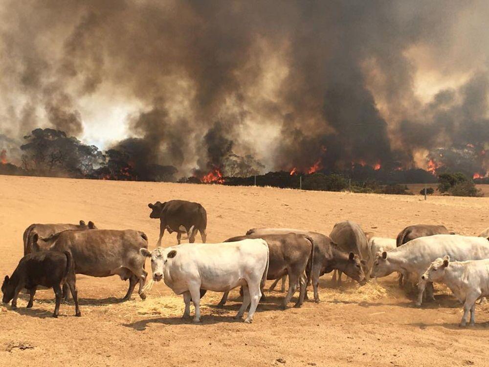 Vacas se reúnem em campo durante incêndio na ilha Canguru, no sul da Austrália