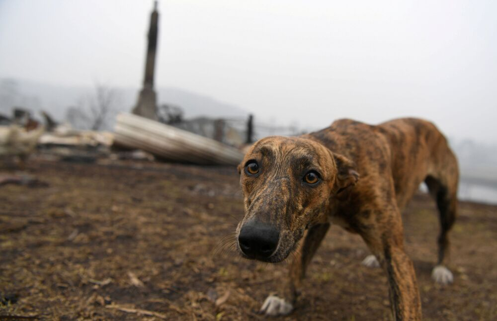 Cachorro visita casa de seu dono devastada na Austrália