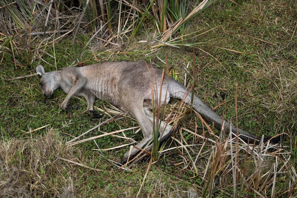 Corpo de canguru morto por eutanásia após incêndios na Austrália