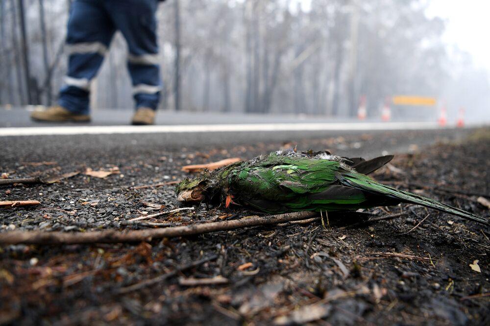 Ave morta por incêndio que afeta grande área do território australiano