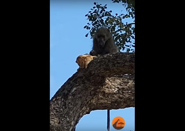 Babuíno e filhote de leão