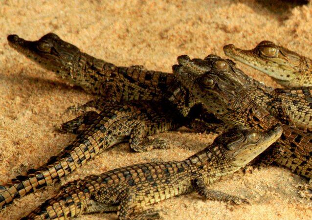 Crias de crocodilo (foto referencial)
