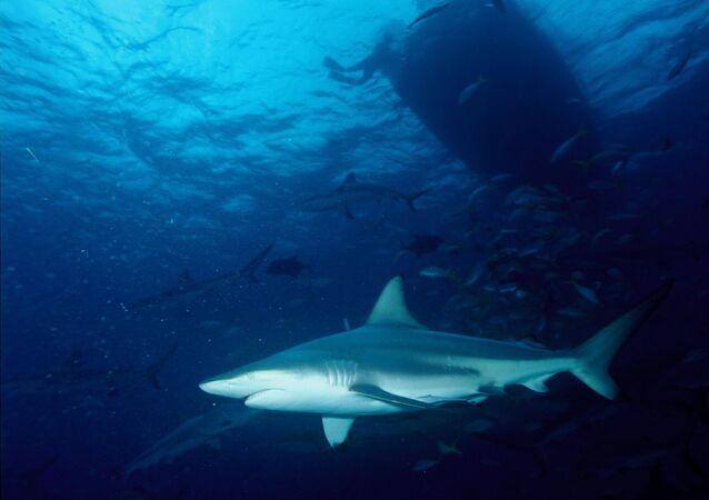 Tubarão-galha-preta