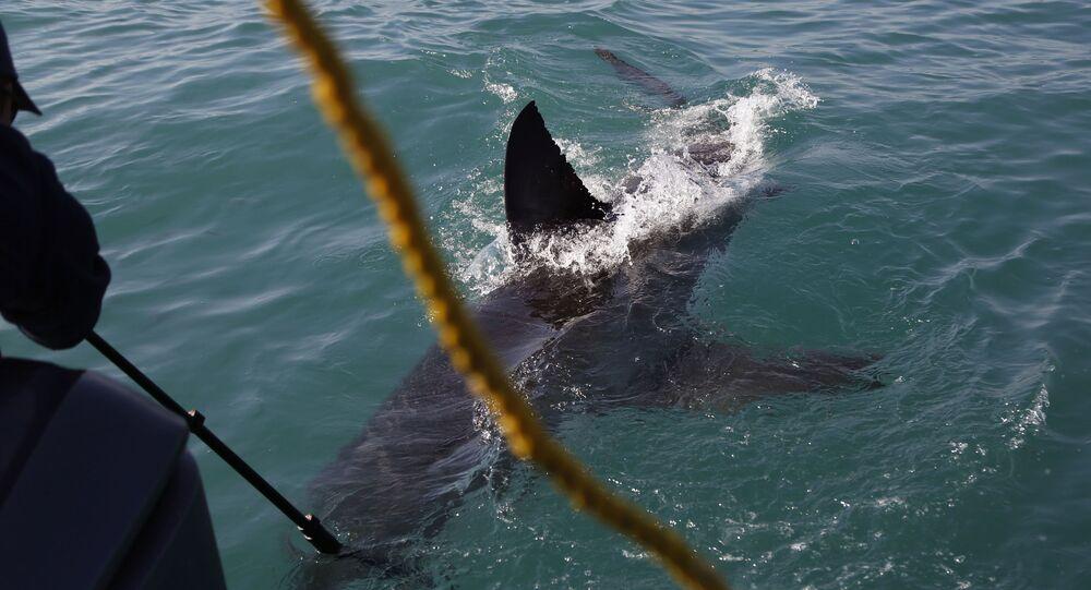Tubarão-branco na África do Sul