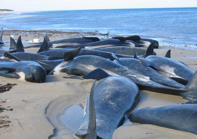 Carcaças de golfinhos e baleias-piloto espalhadas em uma praia na ilha King da Austrália, ao largo do estado da Tasmânia, em 28 de novembro de 2004 (foto de arquivo)