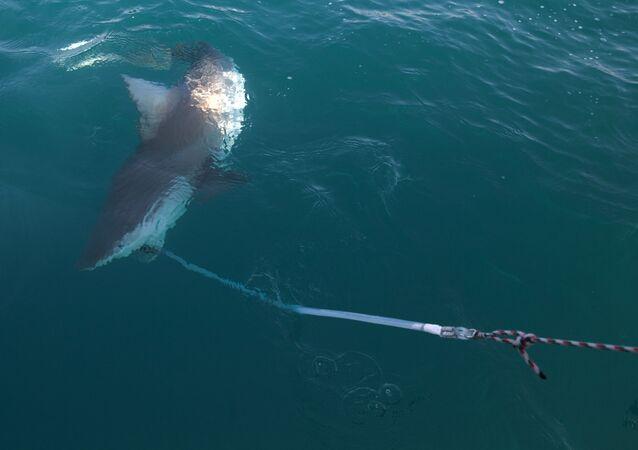 Tubarão no mar Mediterrâneo