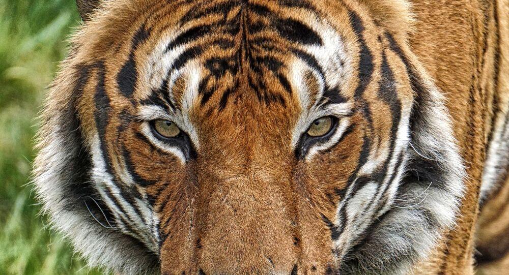 Tigre-malaia