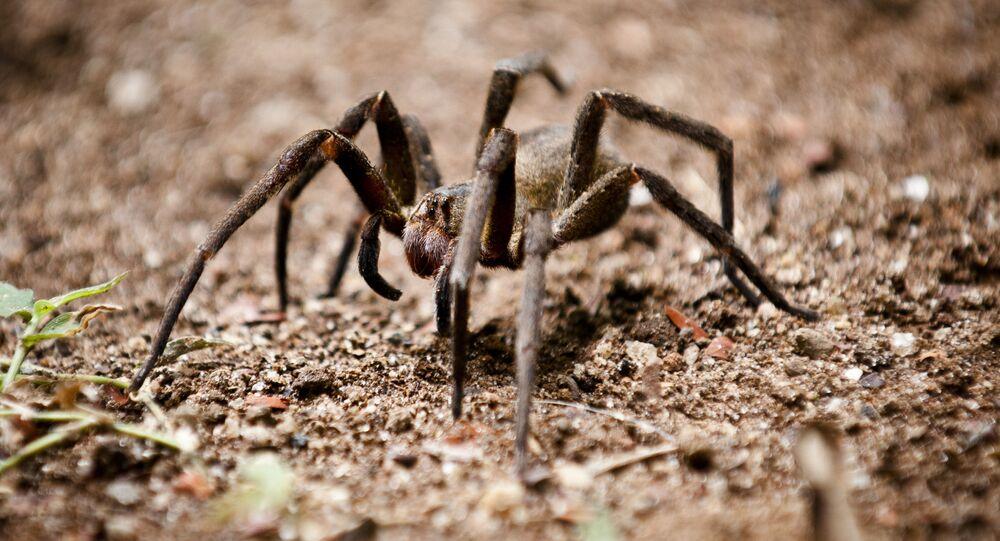 Aranha-armadeira (foto de arquivo)