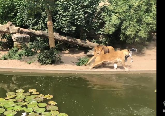 Leões preparam emboscada mortal para garça em pleno zoo holandês