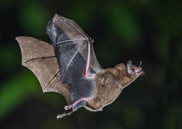 Morcego (imagem de arquivo)