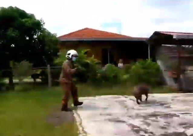Javali invade quintal e dá trabalho para bombeiros na Malásia