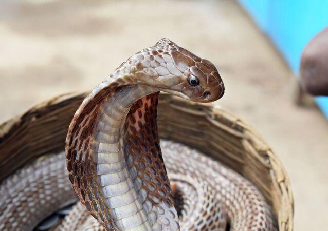 Cobra indiana (imagem referencial)