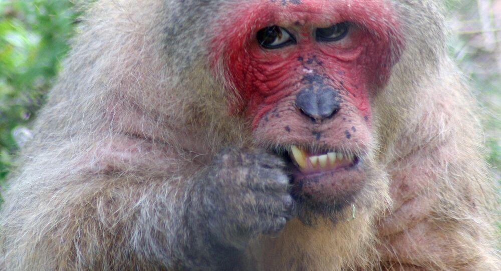 Foto de macaco (imagem referencial)