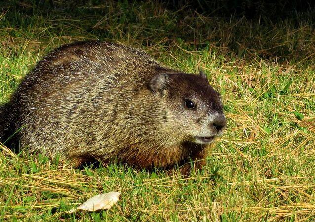 Marmota (imagem de arquivo)