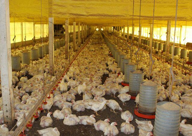 O Brasil vende aproximadamente 40% da carne de frango exigida pelo mercado mundial