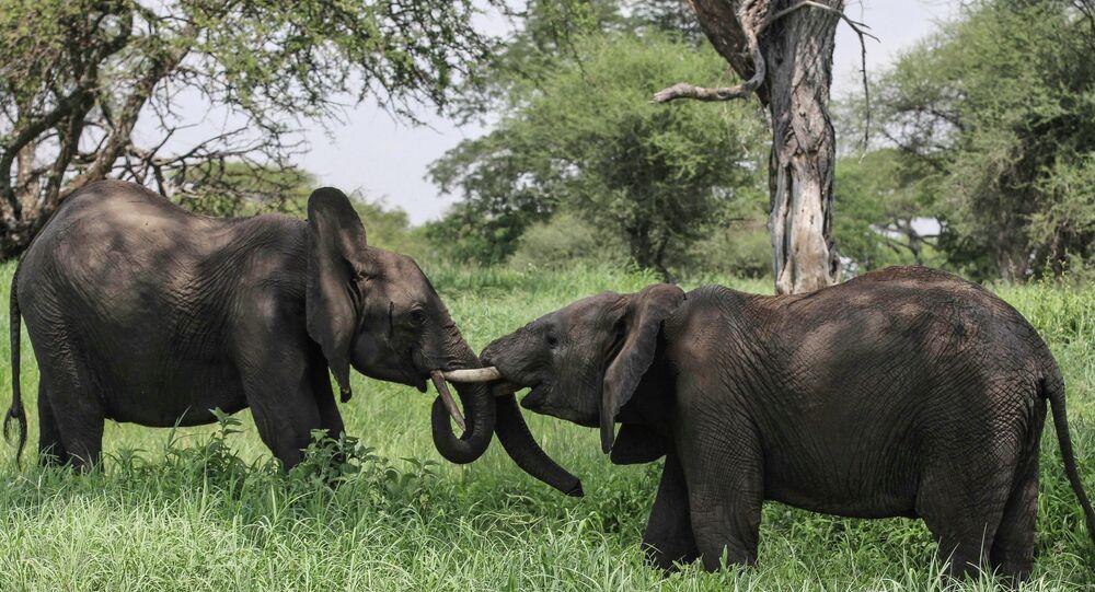 Elefantes africanos no Parque Nacional de Tarangire, norte da Tanzânia