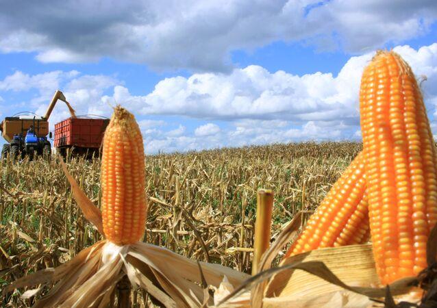 O milho primeira safra, cuja produção está estimada entre 26,5 milhões e 28,2 milhões de toneladas, registrou redução entre 11,8% e 6,4% em comparação