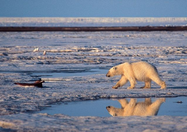 Urso polar no Ártico