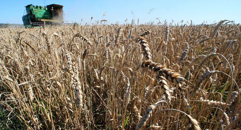 Trigo na região de Kaliningrado