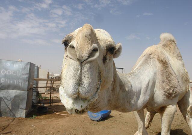 Um camelo no mercado de Riad (imagem ilustrativa)