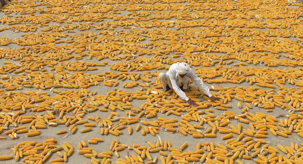 Um agricultor paquistanês prepara milho para secagem em um local perto de Lahore