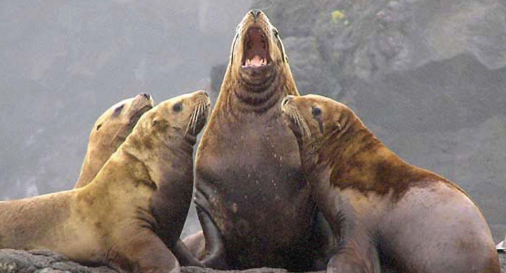 Leão marinho de steller