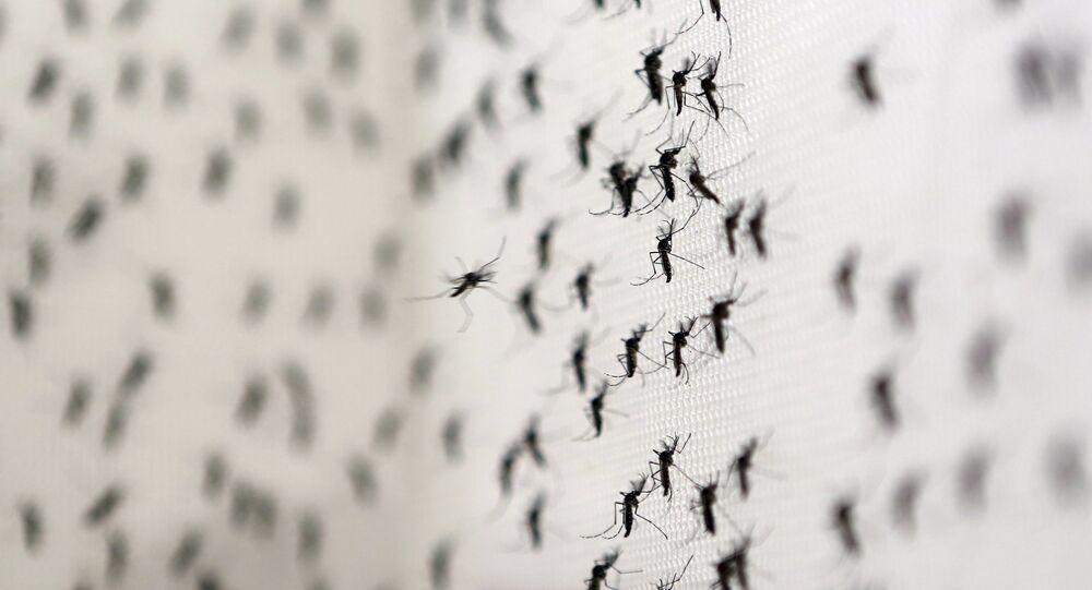 Aedes Aegypti, transmissor de doenças como dengue, chikungunya e zika