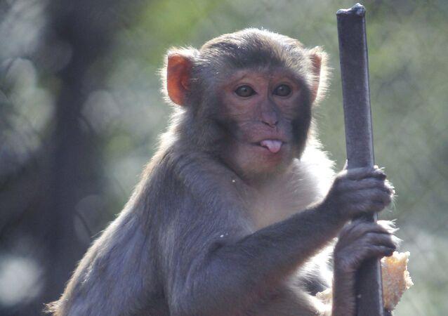 Macaco reso no parque zoológico em Sukhum, Abkházia
