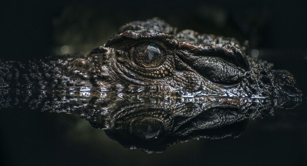 Crocodilo escondido