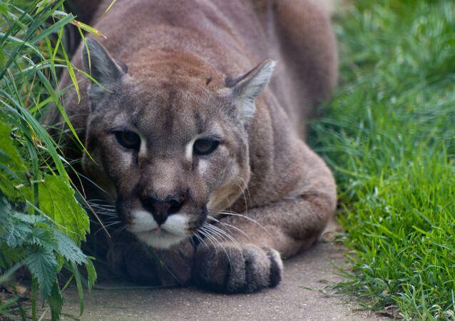 Puma preparado para atacar