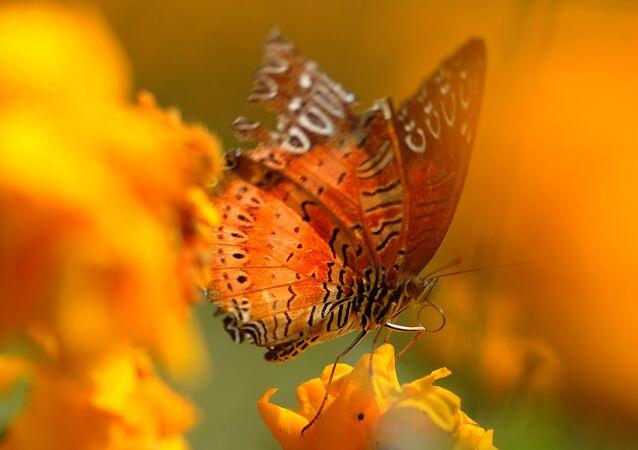 Uma mariposa é flagrada sobre uma flor de calêndula no Jardim Botânico de Godavari, no Nepal, em 15 de novembro de 2011