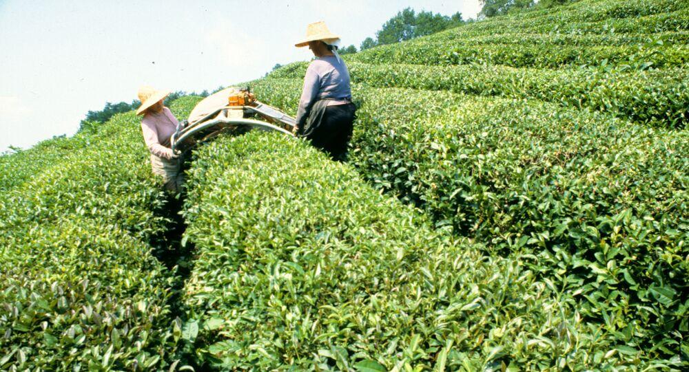 A colheita de chá