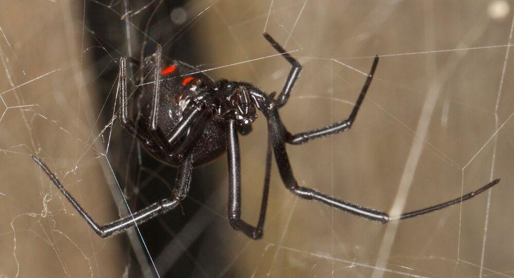 Teia da viúva-negra (imagem referencial)