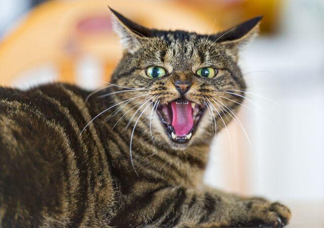 Um gato furioso.